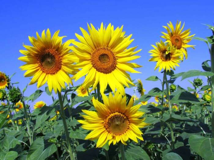 sunflowers good for dry skin