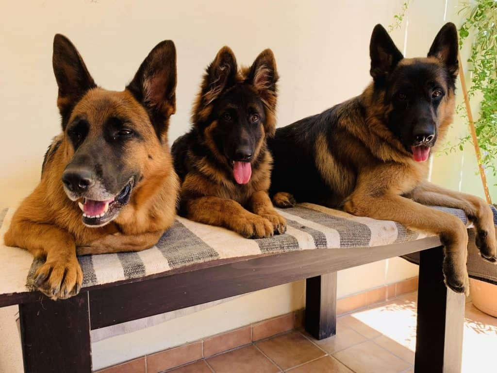 Euro Puppy - An Exclusive company for Specialist Purebred Puppy Lovers 1